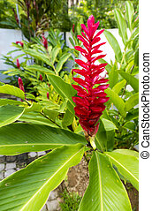 Beautiful tropical red ginger flower ,close up with foliage