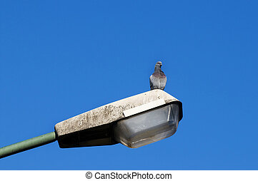 Pigeon standing on a lamppost - Solitary pigeon standing on...