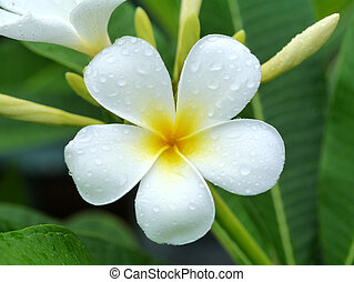 Close up of white frangipani flower.