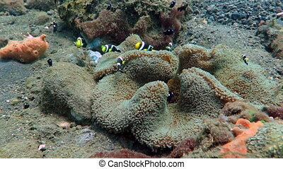 Clark s Anemone fish in coral reef, Bali Sea