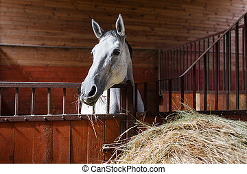 Horse eating hay - White horse eating hay in the stable