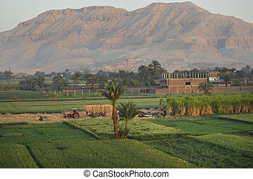 egypt field of sugarcane - harvesting a field of sugarcane...