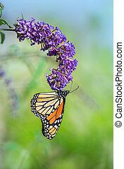 Monarch butterfly (Danaus plexippus) on butterfly bush...