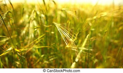 Wheat field. - Wheat field close-up view.