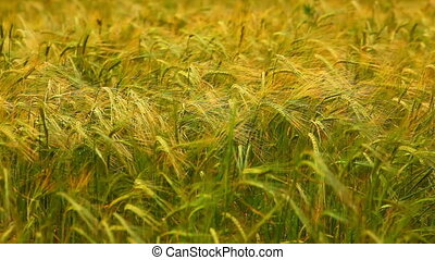 Wheat field. - Wheat field at wind.