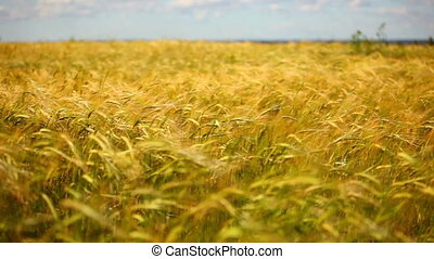 Wheat field - Wheat field at wind panorama