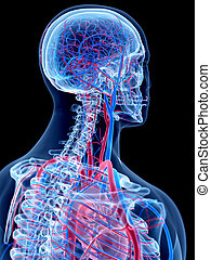 The neck - the human vascular system - the neck