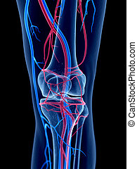 The knee - the human vascular system - the knee