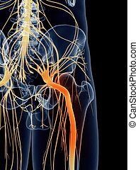 Painful sciatic nerve - medically accurate illustration -...