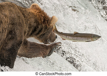 Close-up of bear reaching for leaping salmon