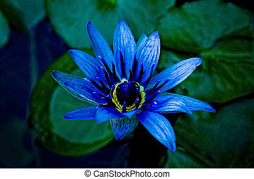 Beautiful image of a purple/blue and yellow water lily - An...