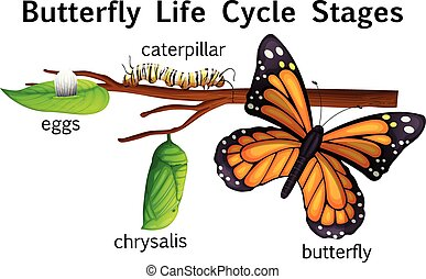 Butterfly life cycle stages illustration