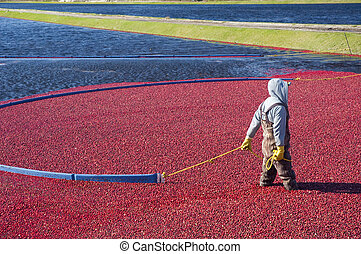 Cranberries - Man harvesting the cranberries in the field