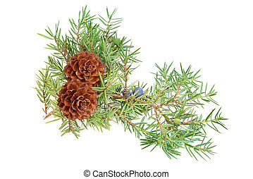 cones of spruce and juniper branchlet isolated on white...