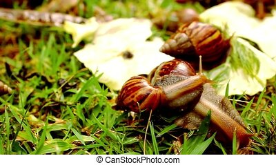 Closeup of many crawling, loving and eating Snails in the...