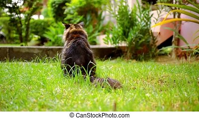 Maine Coon black tabby cat with green eye sat down and chews...