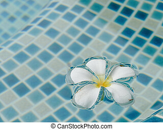 plumeria flower floating on the swimming pool
