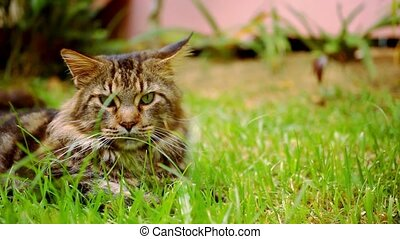 Maine Coon black tabby cat with green eye lying on grass....
