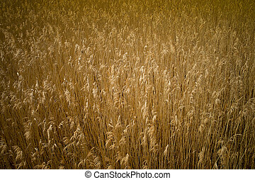 Golden Reed - A big field of golden reed in the sun