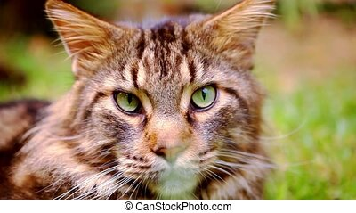 Close up Maine Coon black tabby cat with green eye lying on...
