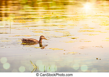 Duck in Golden Water