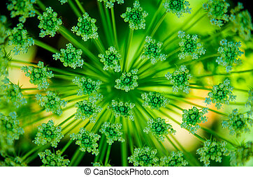 Beautiful cow parsnip Heracleum - Beautifully photographed...