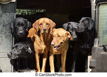 Six black labradors in Landrover