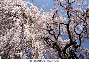 Large weeping cherry blossoms under blue sky