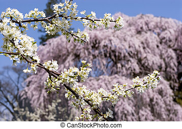 Asian plum flowers in front of weeping cherry blossoms
