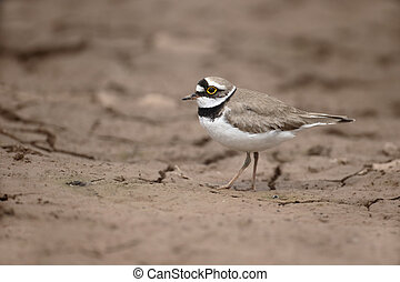 Little-ringed plover, Charadrius dubius, single bird on mud,...
