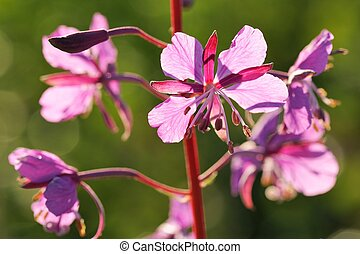 Willowweed flowers in the sun closeup macro