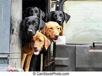 labradors - labs looking round back of landrover