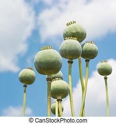 Opium Poppy Capsules - Opium Poppy Papaver Somniferum...