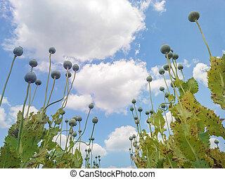 Opium Poppy Capsules - Opium poppy Papaver somniferum seed...