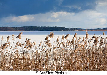 Yellow reeds in the frozen river in winter - Latvia. Yellow...