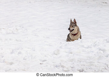 Wolf dog - A Czechoslovakian wolf dog with collar on snow in...