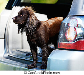 chocolate spaniel freelander - chocolate spaniel looking out...