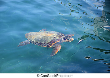 caretta sea turtle - Caretta caretta loggerhead sea turtle...