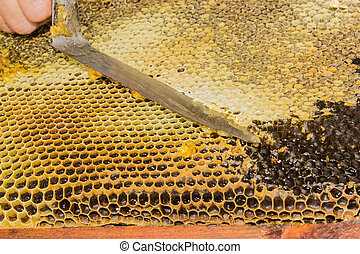 Honeycombs filled with honey, opening the cells - Honeycombs...