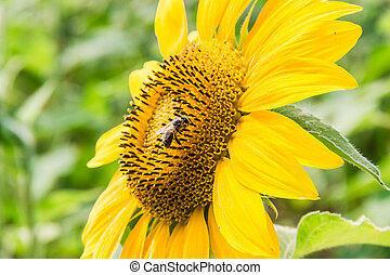 Fragment of a flower sunflower with bee