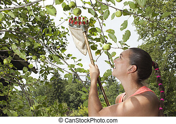 Woman using fruit picking stick - Summer in apple orchard,...