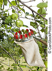Using fruit picking stick - Close up photo of fruit picking...