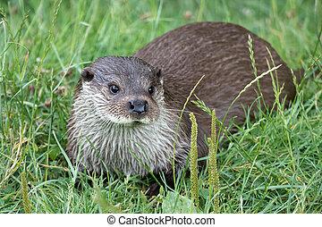 Eurasian Otter Lutra lutra