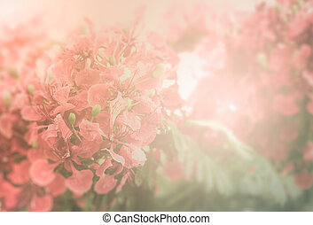 Red Flamboyant flower background - Red Flamboyant flower in...