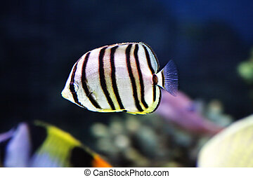 Little striped fish in aquarium closeup photo selective...