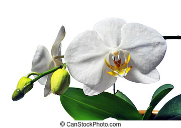 Phalaenopsis white orchid species easy maintenance...