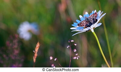 Butterfly and Camomile - Butterfly on Camomile at Sunrise