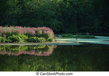 Blackstone River in summer - Ardea herodias hunting on the...