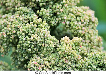 Quinoa, Cosecha, grows, en, granja,