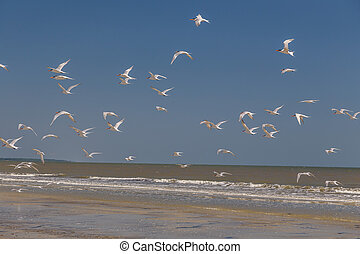 Shore Birds in Flight - Flock of white seagulls and shore...